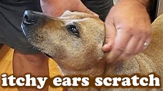Dog Ears Free Scratch Treat - Rubbing Scratching Itchy Itching Head - Very Funny Dogs Videos Jazevox