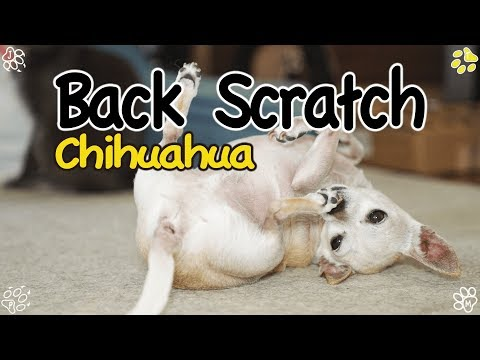 Dog Scratching His Back - Chihuahua tirelessly scratch his back (등긁는 치와와)