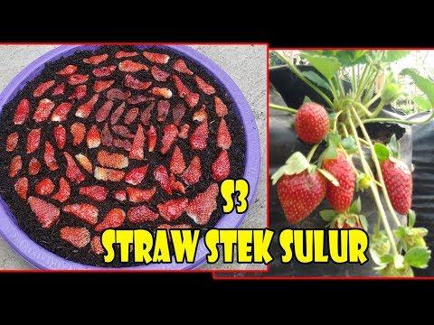 # TIS # CARA KILAT Strawbery Berbuah Lebat+Sehat |Semai ,Stek |Plant & Grow Strawberry from Fruit