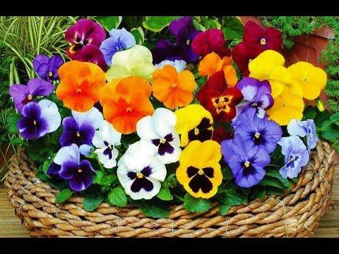 Фиалка - сказочный цветок - Violet fairy flower