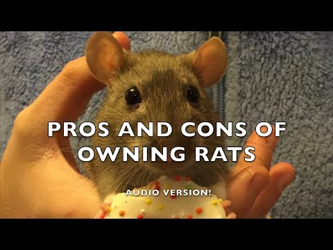 Pros and Cons of Fancy Rats as Pets - Audio version