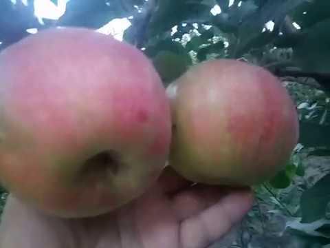 Яблоня сорт зимний Хоней Крисп