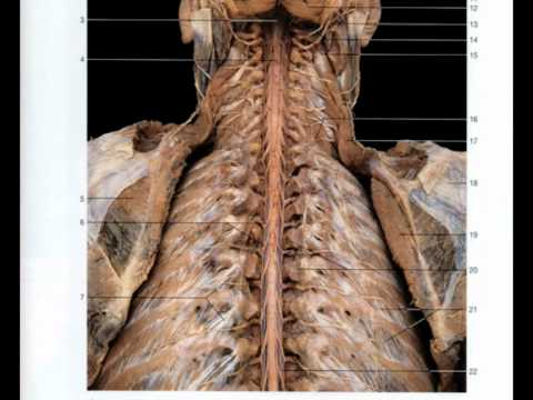 Magnificent Rohen Atlas Of Anatomy Sketch - Anatomy And Physiology ...
