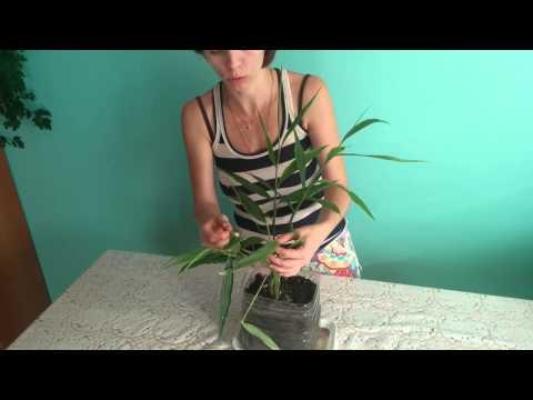 #305.Выращивание имбиря на окне
