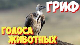 Голоса птиц и звуки животных. Звуки природы слушать онлайн ГРИФ