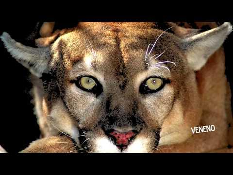 Dogo Argentino VS Puma - Reality