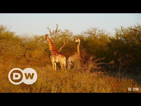 Repopulating Wildlife Parks in Mozambique | DW English