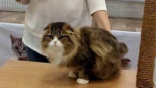 ОЧЕНЬ Красивая - Шотландская Вислоухая Длинношерстная Кошка | ПОРОДЫ КОШЕК