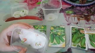 проверка семян огурцов на всхожесть. Семена от 5-и агрофирм. Эксперимент!