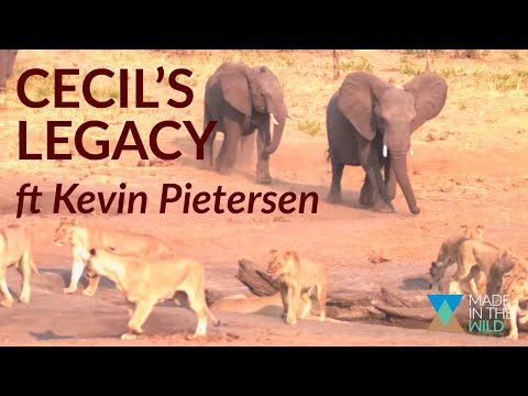What happened to Cecil the lion's Pride?   Cecil's Legacy (Ep. 10)