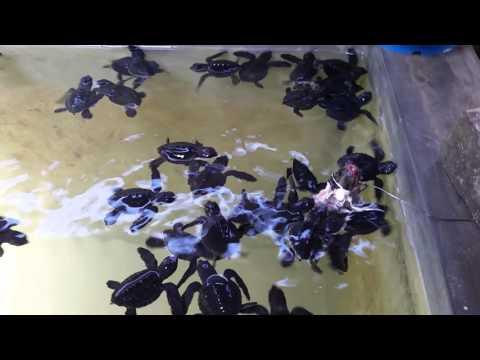 Sri Lanka 03/2016 - Mini turtles