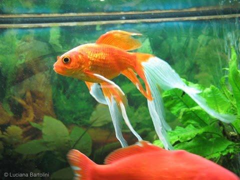 acquario per pesci rossi ecobio youtube