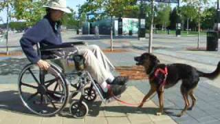 Clicker Trained Wheelchair Skills for Assistance Dogs