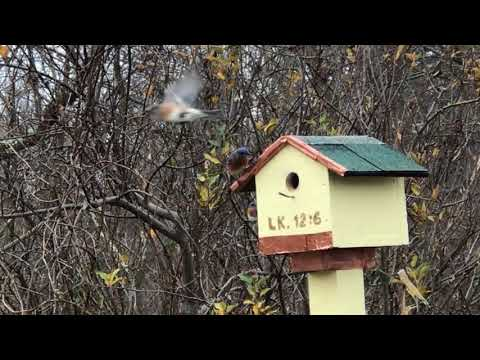 Blue birds battle for housing - its HUD on steriods !