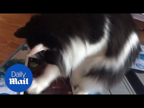 Ninja Cat! Clever Pet Enthusiastically Plays Tablet Games!