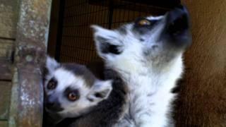 SUPER CUTE Lemurs in Mallorca Zoo Parc Natural