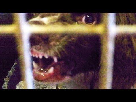 Aggressive, Nasty  MANMADE Springer Spaniel.
