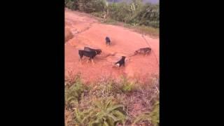 dogs attack king cobra snake