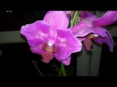 Орхидея Бабочка - Подарок Сына! И 3-новые орхидеи!)))