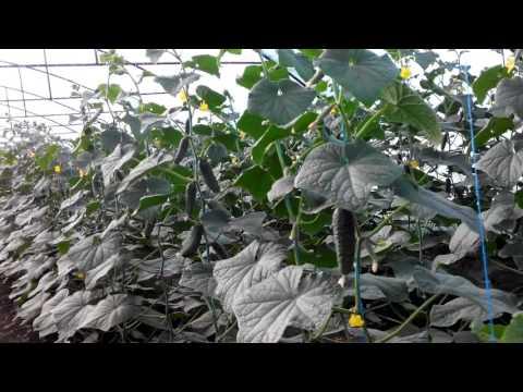 Ночью 3 гр,огурцы расти не хотят(