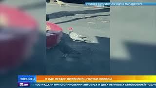 В Лас Вегасе заметили голубей ковбоев в шляпах