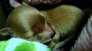 Poodle & M.dachshund Mix 2