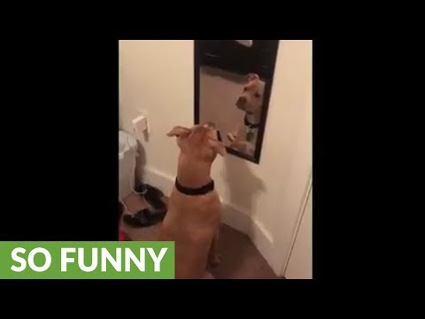 Confused dog barks and growls at his reflection