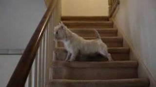 Westie Barks At Door In Anticipation