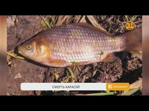 В Карагандинской области массово гибнет рыба