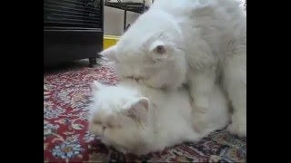 Home Bred Persian Cats Mating | Fluffy Lil Furballs Coming Up