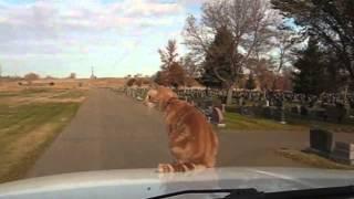 Крутой рыжий кот