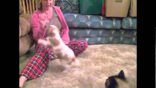 Cavalier Training Session; Teach Your Puppy To Sit!