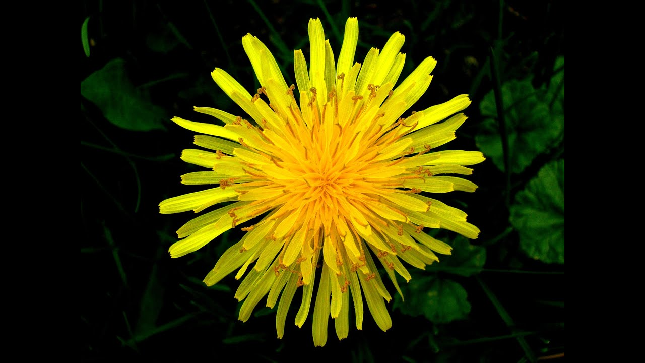 Everything you should know about dandelion youtube everything you should know about dandelion mightylinksfo