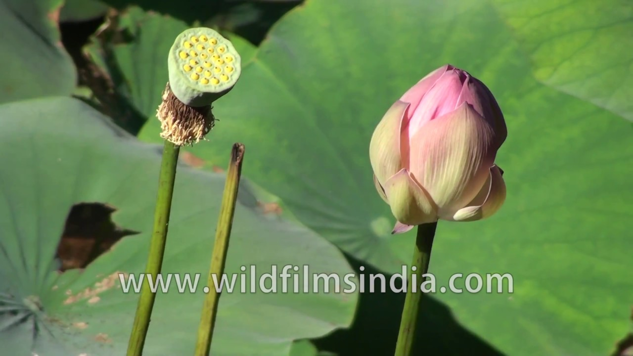 Lotus Flower Buds In Ranganathittu Bird Sanctuary In Mysore