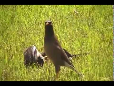 שני ציפורים זכרים בדו קרב