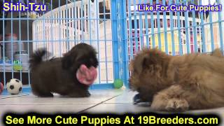 Shih Tzu, Puppies, For, Sale, In, Indianapolis, Indiana, In, Valparaiso, Goshen, Westfield, Merrillv