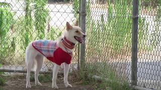 新顔の預かり犬。 琉球犬ミックスのサラちゃんです。 沖縄からやって来...