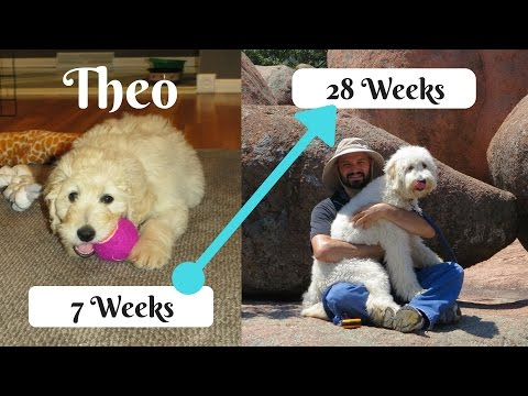 Theo the Goldendoodle (2-6 months)