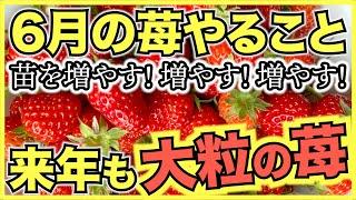 家庭菜園のイチゴ栽培で6月にやるべきこと!苗をどの親株から何株作るのか計画を立てよう【初心者にはポット受けがおすすめ】