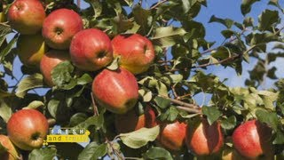 Apple Farming In Kenya - Part 1 Fresh and Fruity