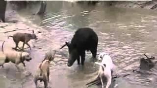 Groźny dzik złapany przez stado psów.
