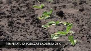 Ochrona rozsady przed suszą cz. 1. Uprawa i pielęgnacja roślin.