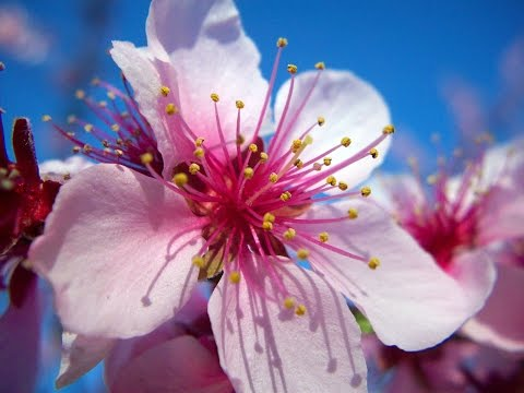 dessin-fleurs-de-cerisier