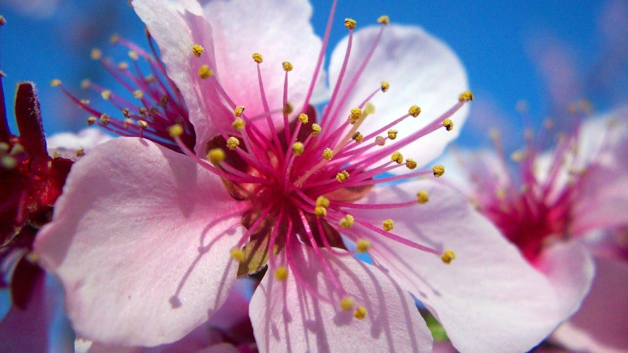 Dessin Fleurs De Cerisier Youtube