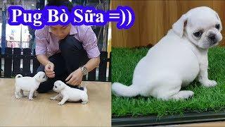 Pug Bò Sữa 2 tháng tuổi siêu cute 😍 Hôm nay tập làm bác sĩ thú y thất bại 😂 White Pug Puppy Dog