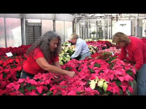 Poinsettias Fill Rutgers Floriculture Greenhouse
