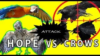 BAD CROWS ATTACKING A BABY HAWK AND HOPE!