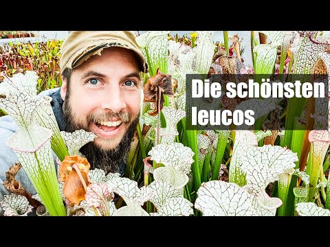 #65-diese-sarracenia-leucophylla-musst-du-haben,-alle-highlights-aus-meiner-sammlung