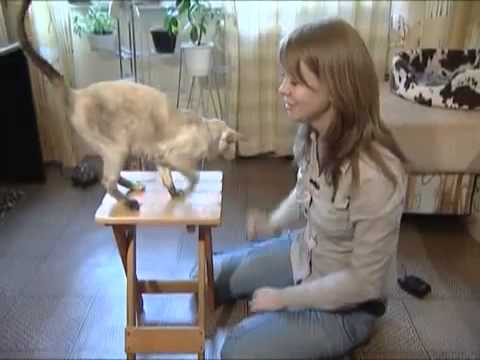 Сиамская кошка - Все О Породе