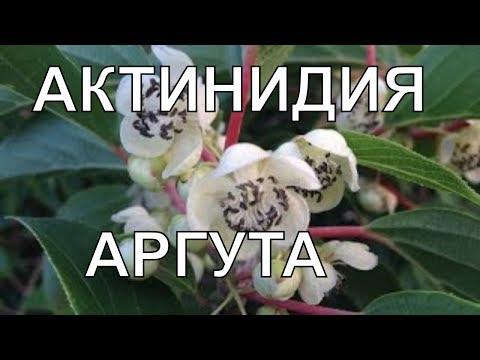 Актинидия - Посадка и уход